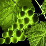 Seminario Web Lallemand Sudamérica: «Cómo maximizar la maduración de las uvas y optimizar la fecha de cosecha»